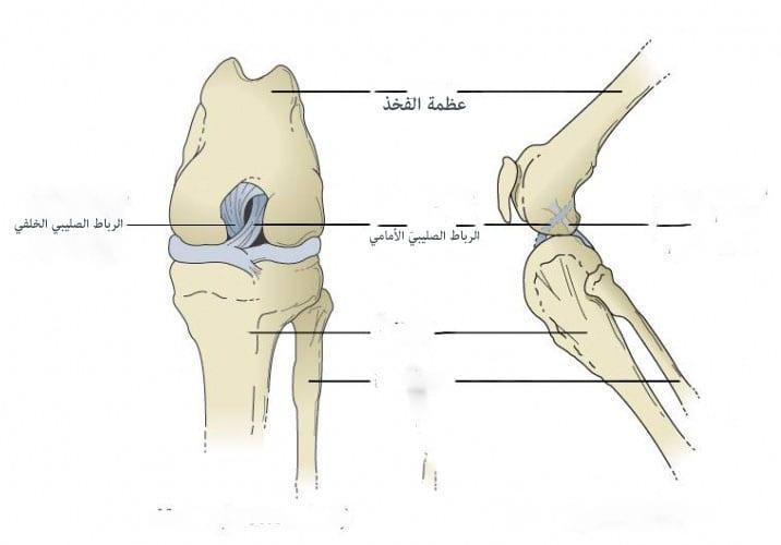 صورة الرباط الصليبي الأمامي والخلفي cruciate ligament