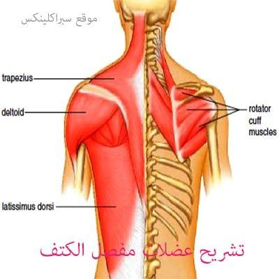 Photo of تشريح عضلات مفصل الكتف