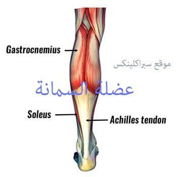 صورة تشريح عضلة السمانة القلب الثاني calf muscle