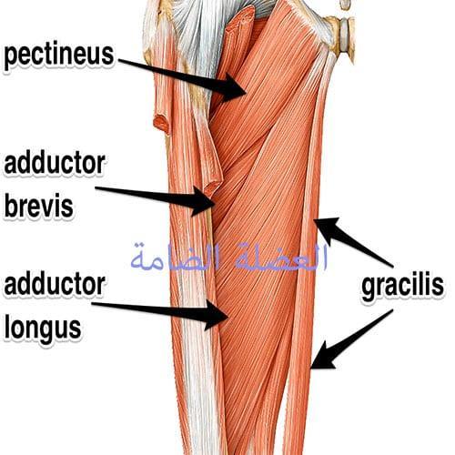 العضلة الضامة للفخذ adductor muscle