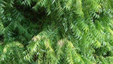 تجربتي مع شجرة النيم